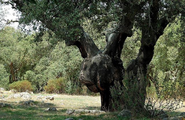 Una quercia da sughero