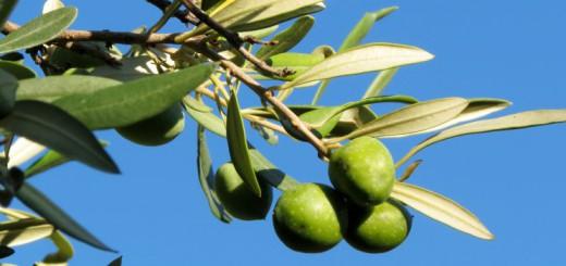 29^a Sagra delle Olive a Gonnosfanadiga - Dal 20 al 22 Novembre 2015